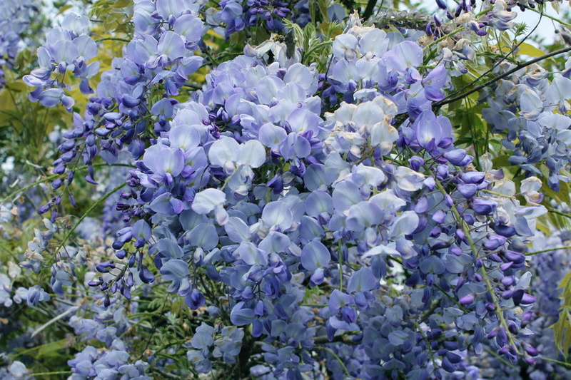 Wistaria floribunda 'Blue Dream'